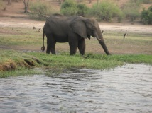 Elephant at watering hole