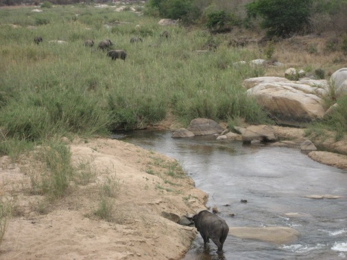 Hippos at a watering hole