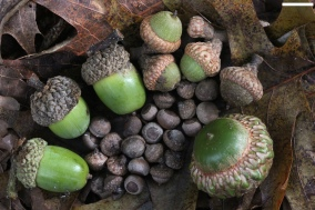 Acorns - photo by David Hill http://www.flickr.com/photos/dehill/7891890620/