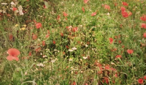 Poppies in a field - Flanders