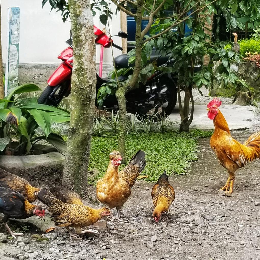 Pontok Merapi chickens